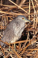Black-crowned Night Heron (Nycticorax nycticorax). Bosque del Apache National Wildlife Refuge, New Mexico, USA