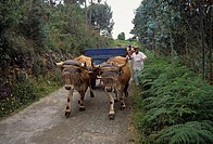 Man, with, oxcart, Galicia, Spain, ox, oxen,