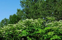 Giant, Hogweed, Hesse, Germany, Heracleum, mantegazzianum,