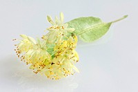 Large-leaved, Lime, blossoms, Tilia, platyphyllos,