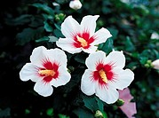 The Rose Of Sharon,KoreaThe National Flower Of Korea