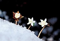 Eranthis stellata Maximowicz,Mt  Gwangdeoksan,Gyeonggi,Korea