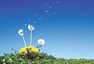 A Spore Of Dandelion