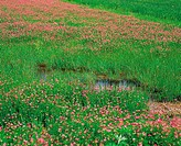 Astragalus Sinicus,Korea