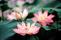 Close-up Of Lotus Flower,Korea