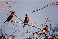 02/29/2000 __ In a wooded area of Kennedy Space Center, robins gather on a tree branch just beginning to show new Spring growth. A member of the thrus...
