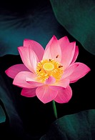Bees,Lotus Flower