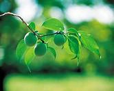 Japanese Apricots Hanging On The Tree,Korea