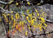 Mistletoe,Korea