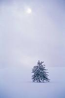 A Pine Tree In Winter,Korea