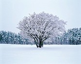 A Tree In Snow Field,Korea