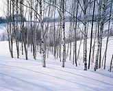 Trees In Winter,Hokkaido,Japan