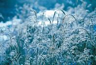 Field Of Reeds,Korea