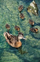 Ducks,Geneva,Switzerland