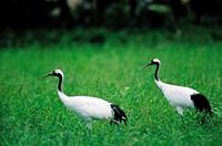 Cranes,Hokkaido,Japan