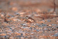 Little ringed plover Charadrius dubius curonicus, Korea