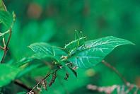 Grasshopper,Korea