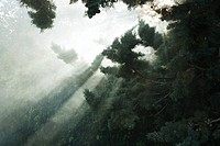 Sunbeams breaking through tree branches and fog