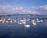 Lake Jusan Swan Shiura Aomori Japan Lake Swan Bird Animal
