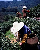 Dragon I tea tea picking Chabatake dragon Imura Hangzhou Zhejiang Province China Asia Industry Agriculture