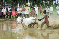 Two ox running in an oxen race, Kerala, India