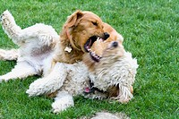 Female Golden Retriever and neutered Goldendoodle dogs playing not fighting  St Paul Minnesota USA