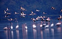 Flying flamingoes , Kenya,Africa