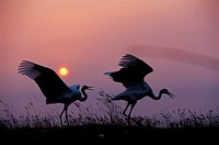 Flying and tweeting red -crowned cranes in dusk