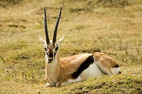 Gazelle sitting on grass