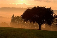 Cherry tree and poplars, sunrise and morning mist in autumn, Franconian Switzerland, Bavaria, Germany