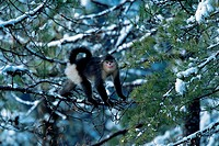 Yunnan Snub-nosed Monkey