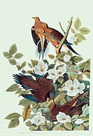 Mourning doves Zenaida macroura, called carolina turtle doves, in a white_flowered silky camellia tree Stewartia malacodendron in John James Audubon´s...