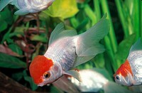 Fancy goldfish _ red cap oranda Carassius auratus. In captivity, China.