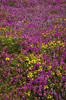 Bell heather flowers Erica cinerea, dark pink, mixed with common gorse Ulex europaeus, yellow, ling Calluna vulgaris, lilac, and cross_leaved heath Ca...