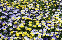Pansy flowers Viola sp..