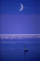 A swan in calm Baltic Sea under the moon. Stockholm Archipelago