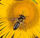 A leaf_cutter bee Megachile centuncularis on a Compositae flower. Leaf_cutter bees are important pests of ornamental plants and trees.