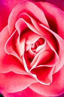 Close_up of a pink rose