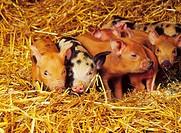 Piglets litter on straw bedding