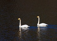 Side view of two swans swimming in water