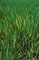Barley Yellow Dwarf Virus BYDV infection in immature Barley crop.
