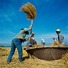 Threshing rice into a traditional basket near Chiang Mai, Thailand.