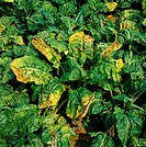 Sugar beet virus yellows SBVY infection on mature sugar beet beta vulgaris plant. Cambridgeshire, England.
