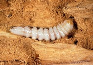 Pyrochroa beetle larva. Macrophotograph of a Pyrochroa coccinea beetle larva in its dead wood habitat. Pyrochroa beetles are found at the edges of for...