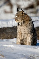 Canada lynx Lynx canadensis sitting in the snow.