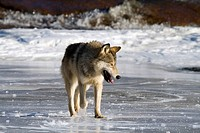 Lone wolf Canis lupus walking on the ice.
