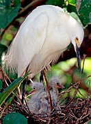 Snowy Egret Egretta thula adult with nestlings, Timucuan Preserve, Florida.