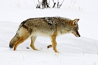 Coyote Canis latrans, Yellowstone National Park, Montana, in winter.