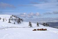 Cows eating after a heavy snowfall, Rang Sainte_Marie, Quebec, Canada.