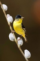 The Lesser Goldfinch is 4_4.5 inches long and about 0.3 ounces in weight. It is the smallest North American Carduelis species. Females and immatures´ ...